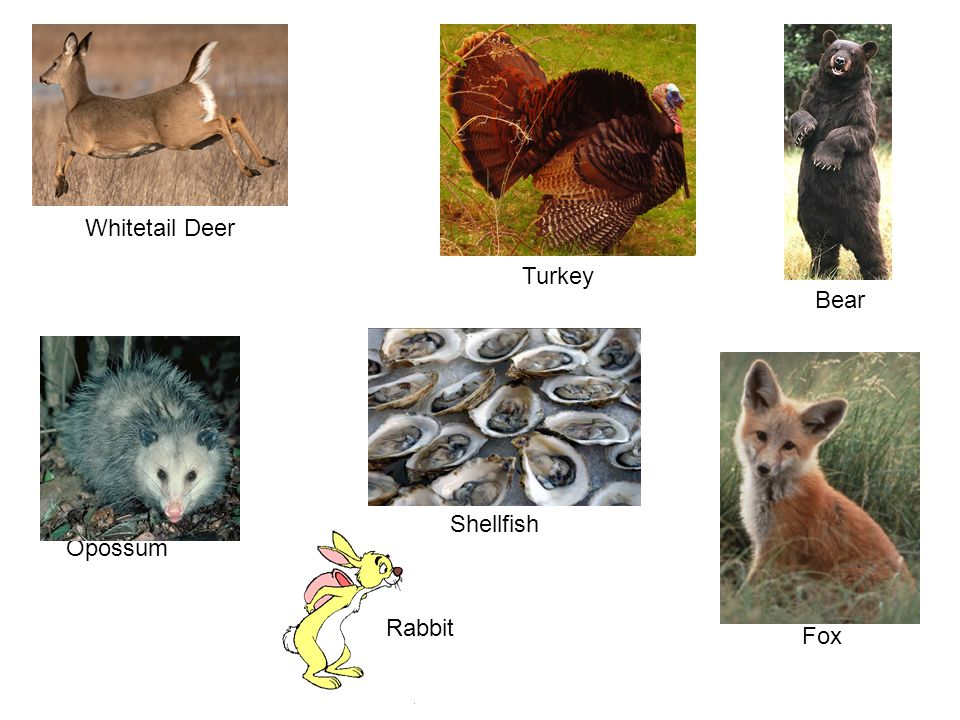 Whitetail Deer Turkey Bear Shellfish Opossum Rabbit Fox