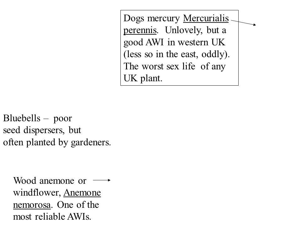 Dogs mercury Mercurialis perennis