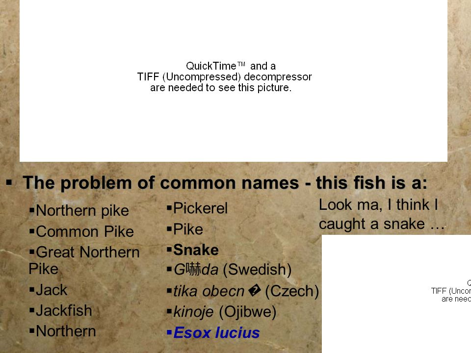 The problem of common names - this fish is a: