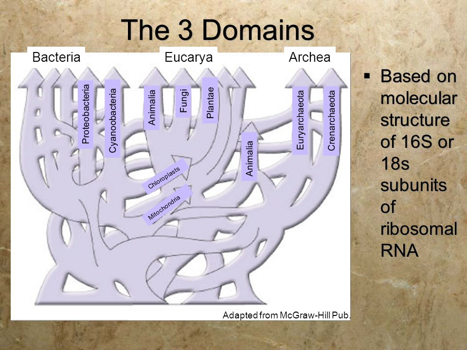 The 3 Domains Bacteria. Eucarya. Archea. Based on molecular structure of 16S or 18s subunits of ribosomal RNA.