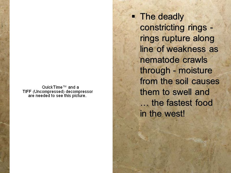 The deadly constricting rings - rings rupture along line of weakness as nematode crawls through - moisture from the soil causes them to swell and … the fastest food in the west!