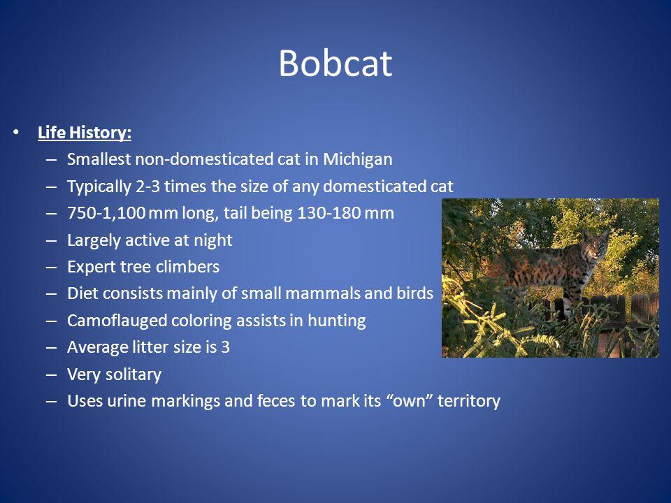 Bobcat Life History: Smallest non-domesticated cat in Michigan