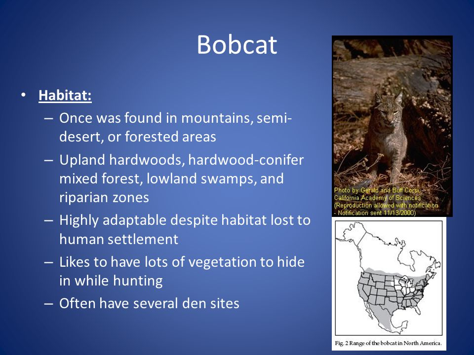 Bobcat Habitat: Once was found in mountains, semi-desert, or forested areas.