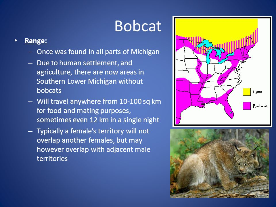Bobcat Range: Once was found in all parts of Michigan