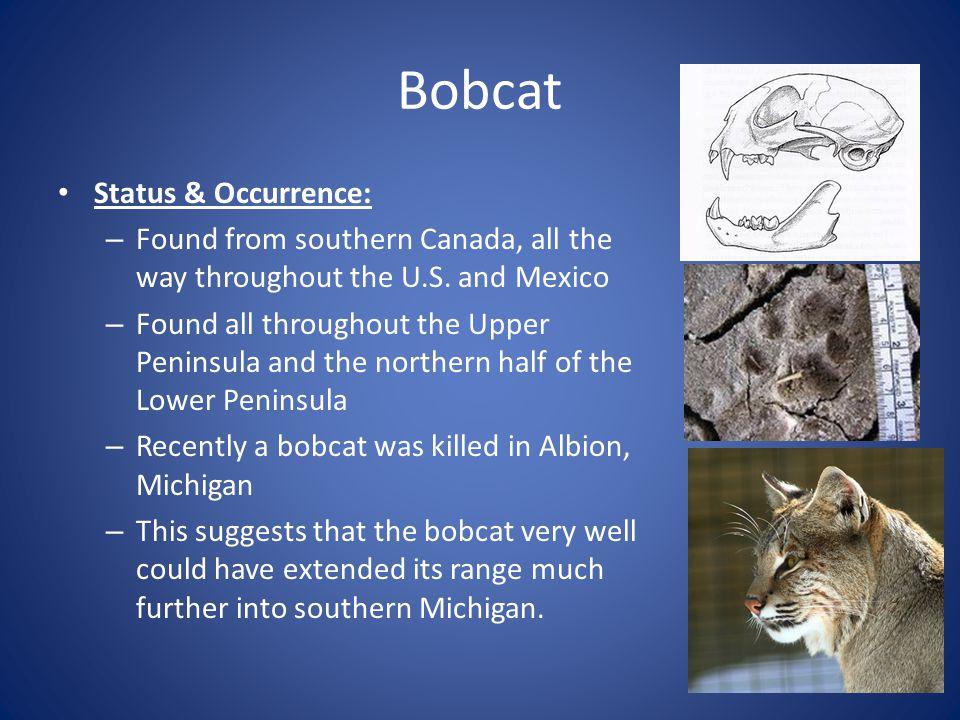 Bobcat Status & Occurrence: