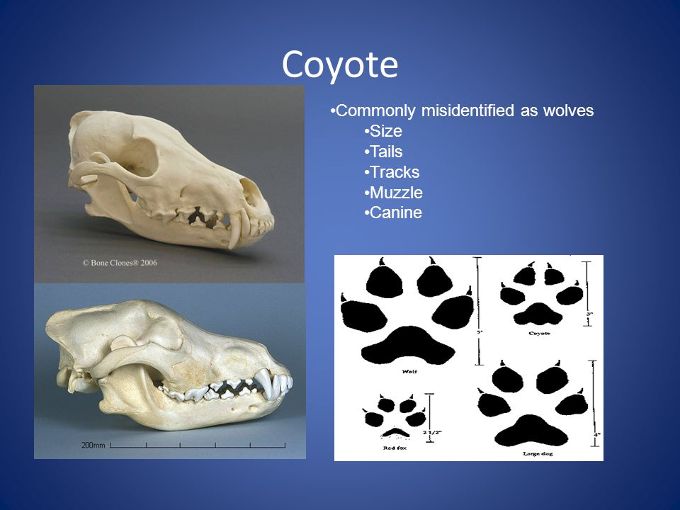 Coyote Commonly misidentified as wolves Size Tails Tracks Muzzle