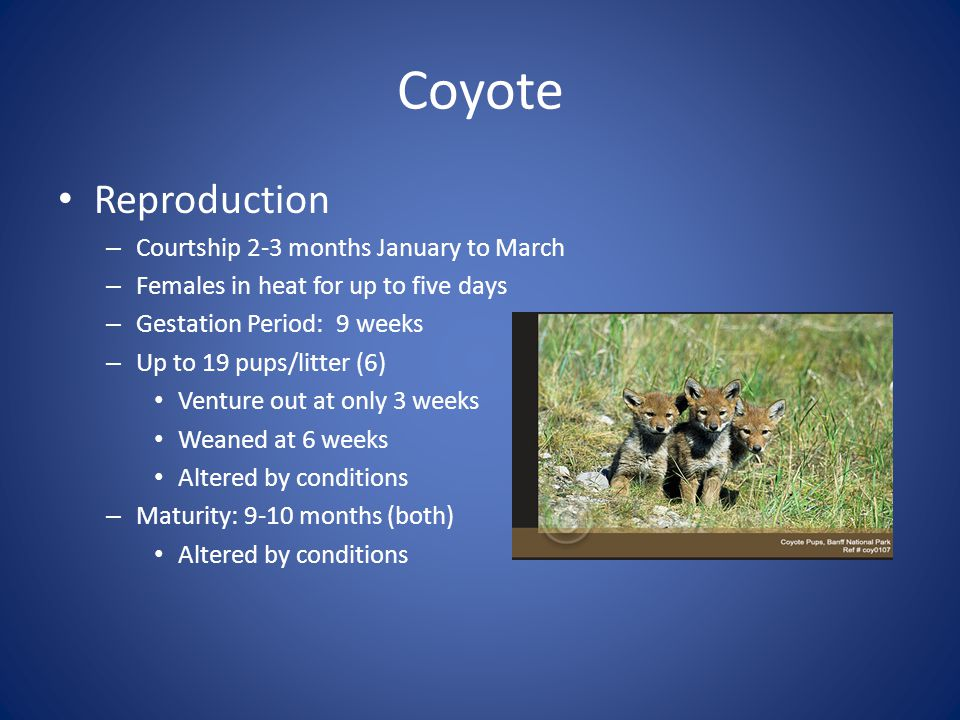 Coyote Reproduction Courtship 2-3 months January to March
