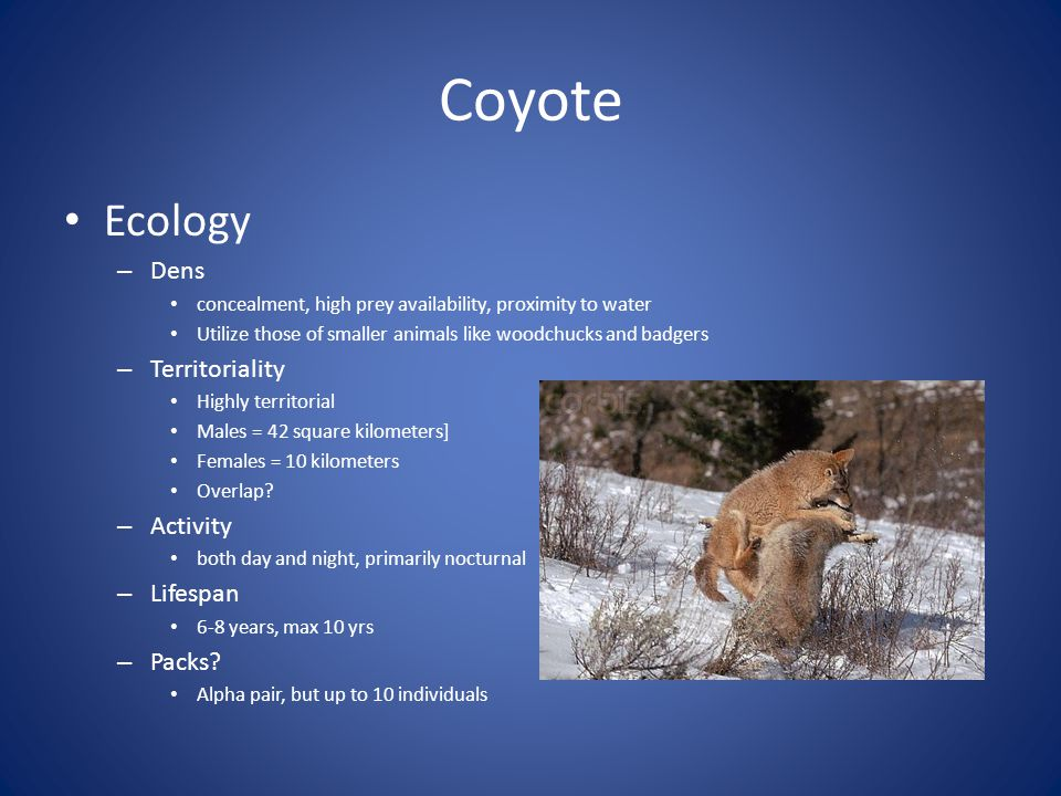 Coyote Ecology Dens Territoriality Activity Lifespan Packs