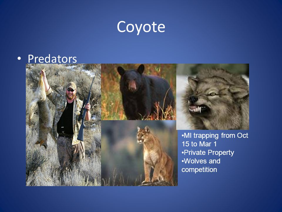 Coyote Predators MI trapping from Oct 15 to Mar 1 Private Property