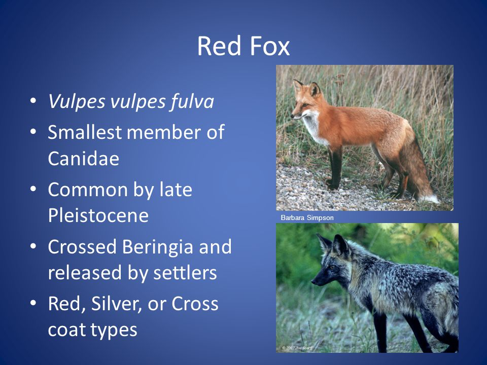 Red Fox Vulpes vulpes fulva Smallest member of Canidae