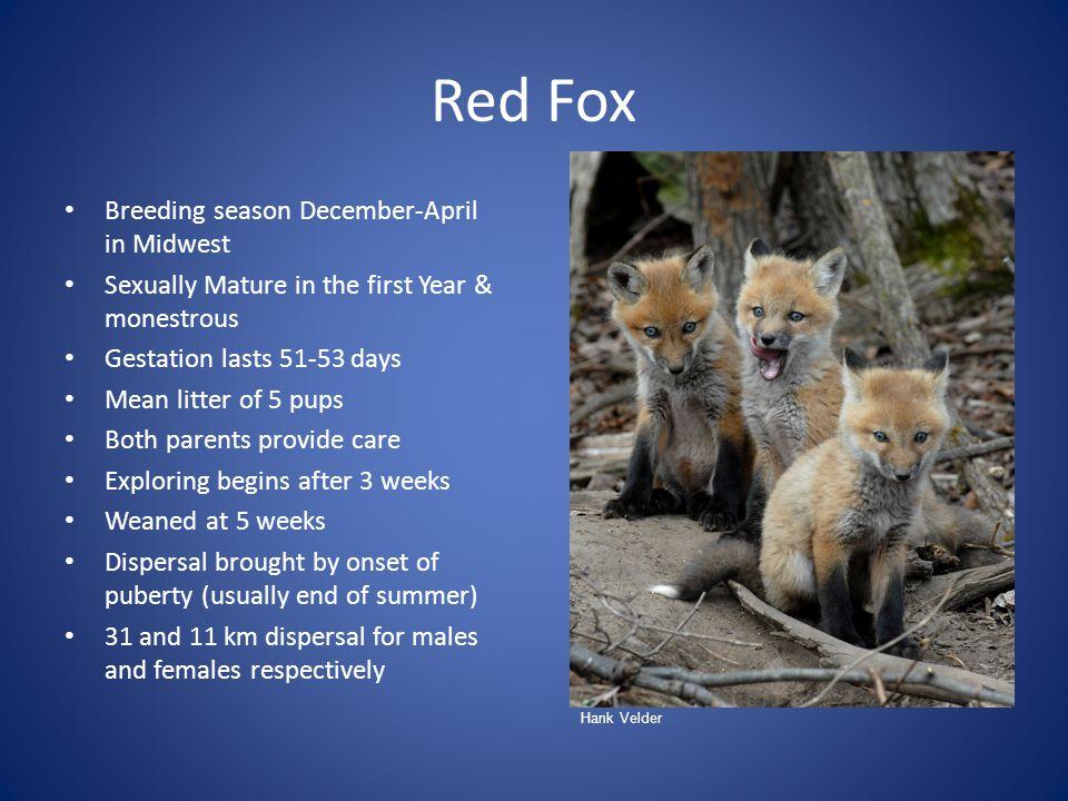 Red Fox Breeding season December-April in Midwest