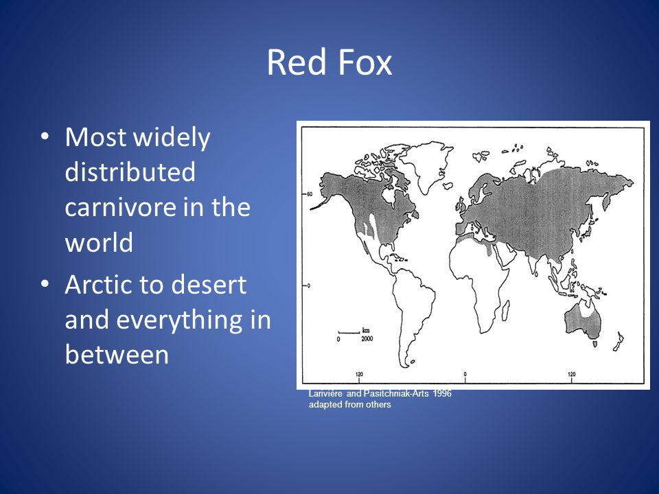 Red Fox Most widely distributed carnivore in the world