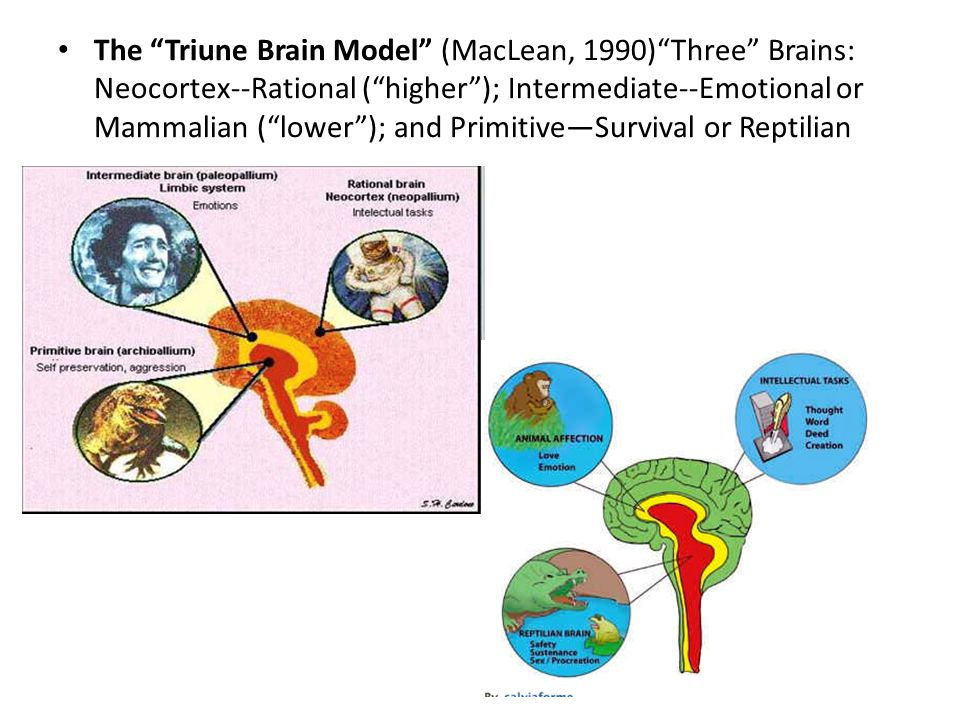 The Triune Brain Model (MacLean, 1990) Three Brains: Neocortex--Rational ( higher ); Intermediate--Emotional or Mammalian ( lower ); and Primitive—Survival or Reptilian