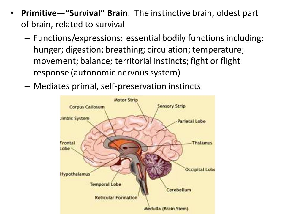 Primitive— Survival Brain: The instinctive brain, oldest part of brain, related to survival