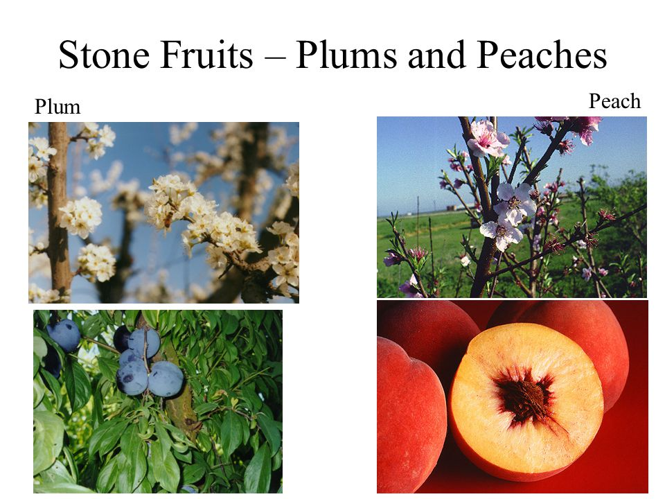 Stone Fruits – Plums and Peaches