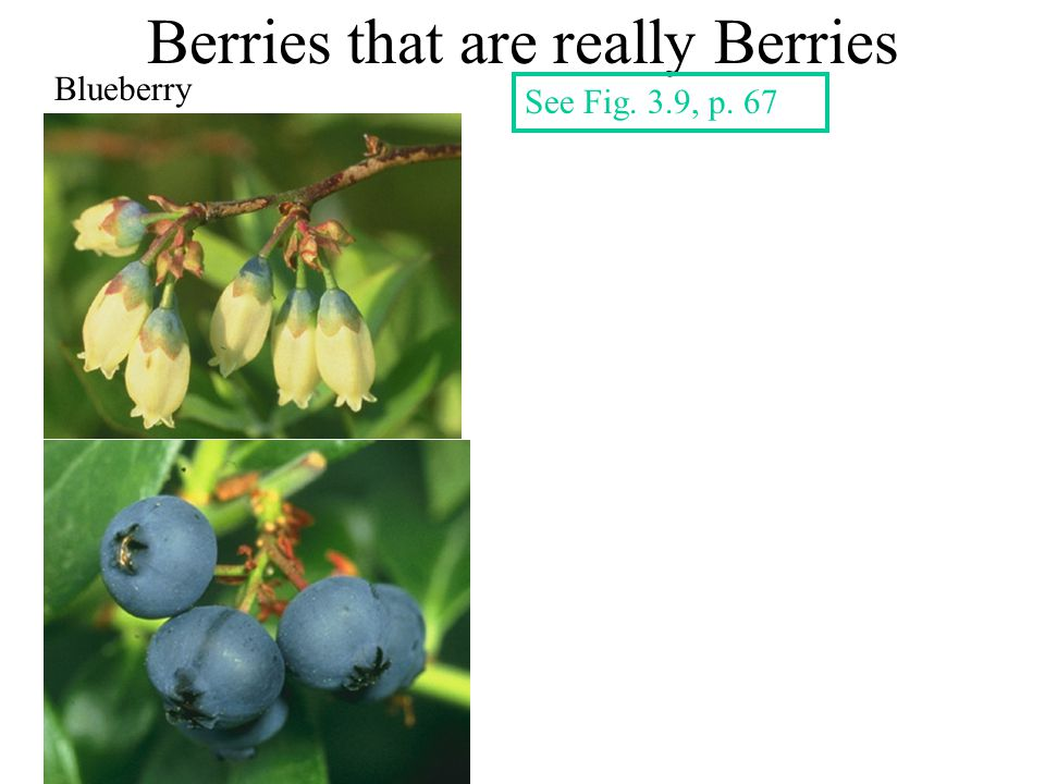 Berries that are really Berries