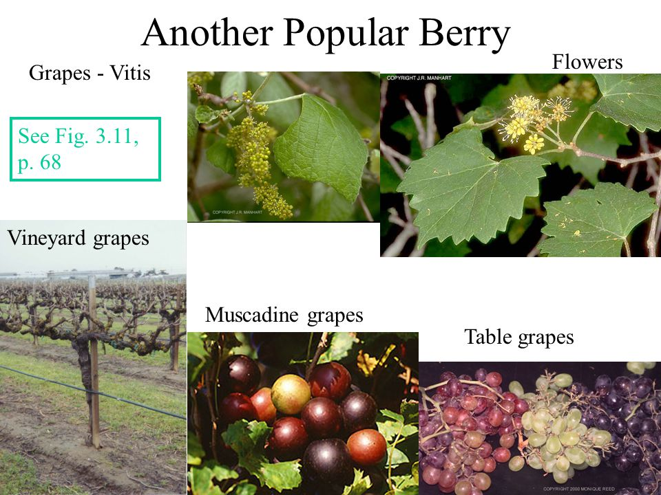 Another Popular Berry Flowers Grapes - Vitis See Fig. 3.11, p. 68
