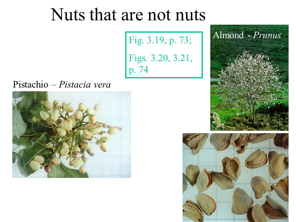 Nuts that are not nuts Almond - Prunus Fig. 3.19, p. 73;