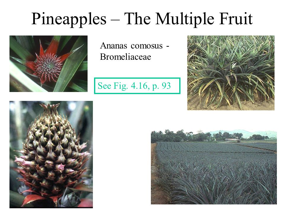 Pineapples – The Multiple Fruit