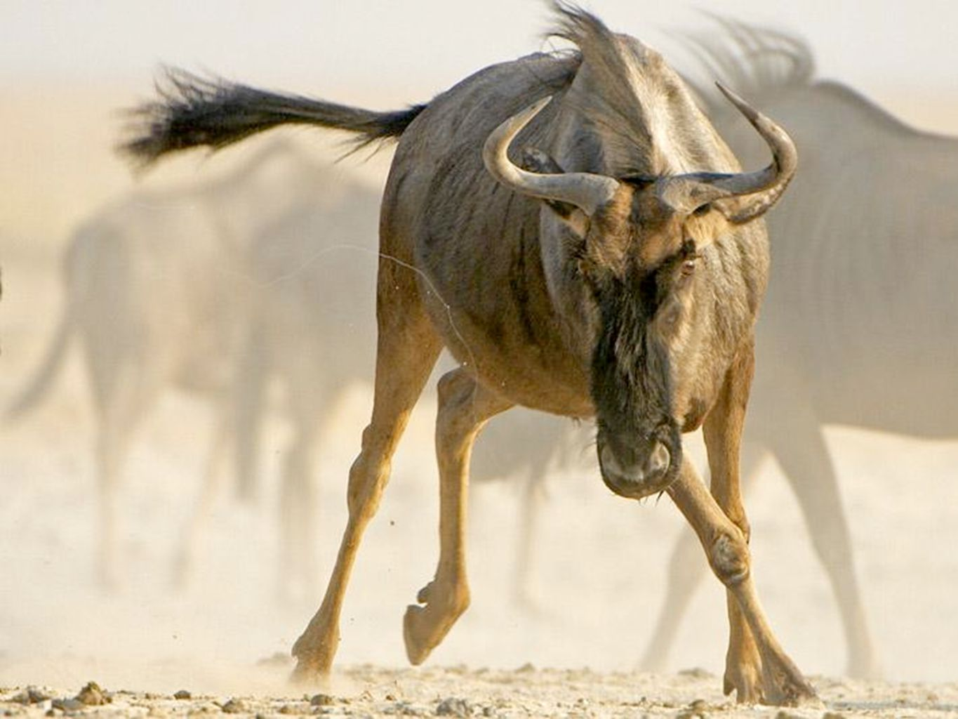 Wildebeest: Lynchpin Species