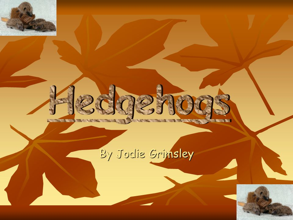 Hedgehogs By Jodie Grimsley