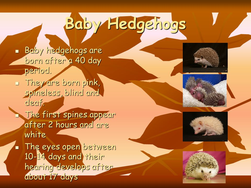 Baby Hedgehogs Baby hedgehogs are born after a 40 day period.