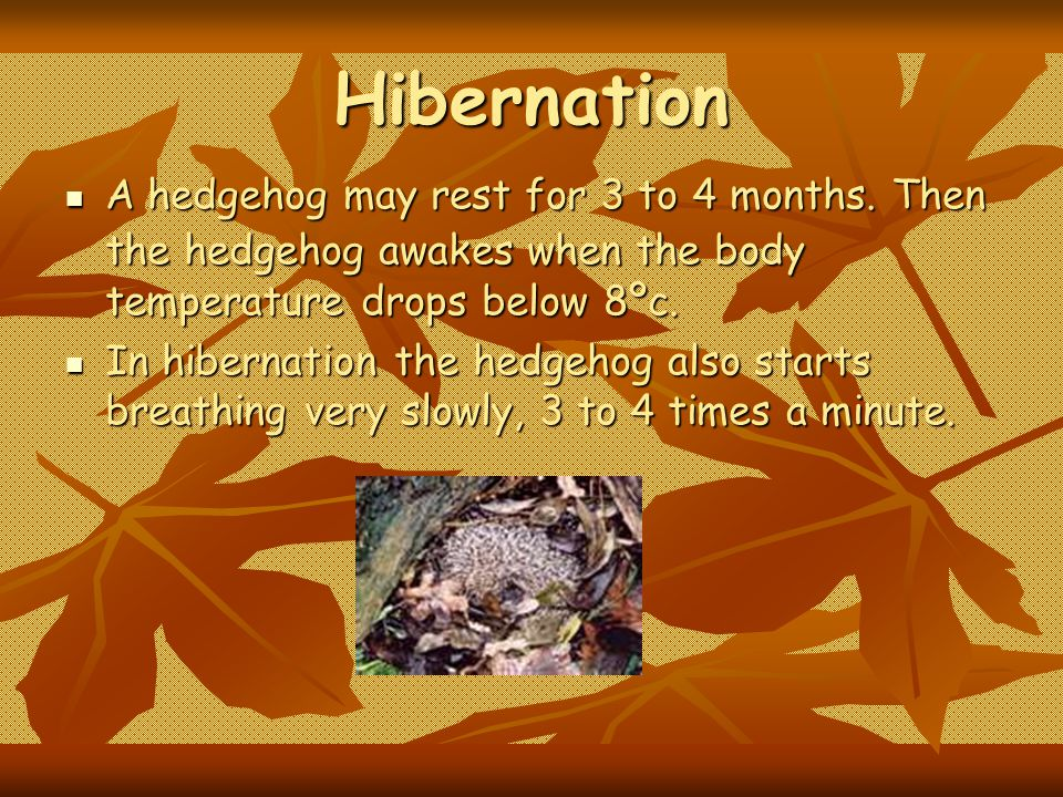 Hibernation A hedgehog may rest for 3 to 4 months. Then the hedgehog awakes when the body temperature drops below 8ºc.