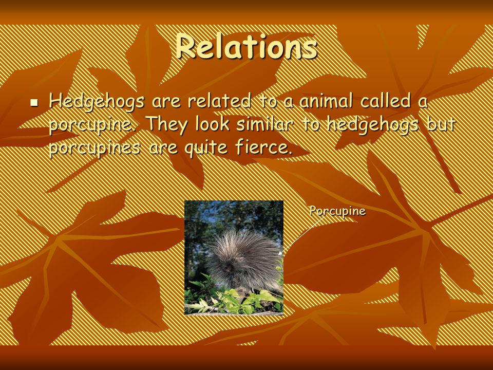 Relations Hedgehogs are related to a animal called a porcupine. They look similar to hedgehogs but porcupines are quite fierce.