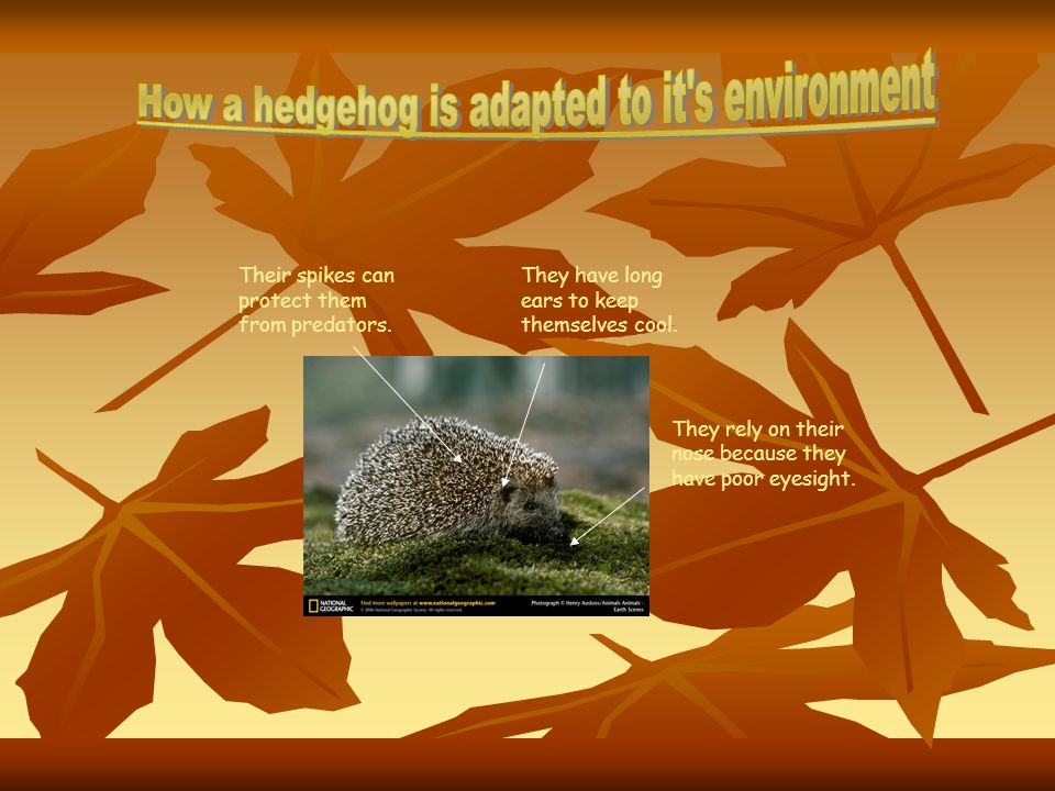 How a hedgehog is adapted to it s environment