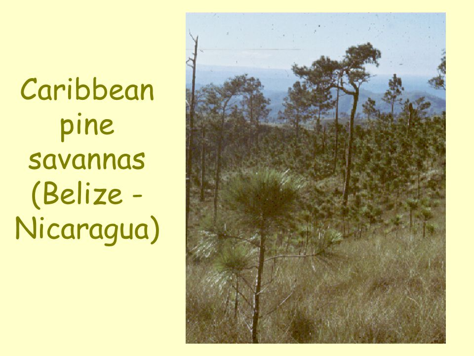 Caribbean pine savannas (Belize - Nicaragua)