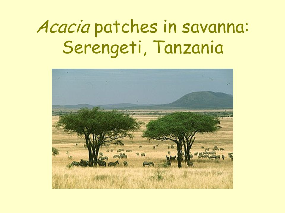 Acacia patches in savanna: Serengeti, Tanzania
