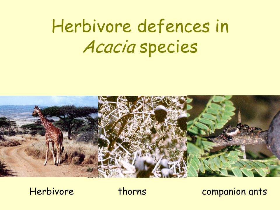 Herbivore defences in Acacia species