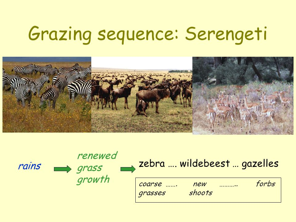 Grazing sequence: Serengeti