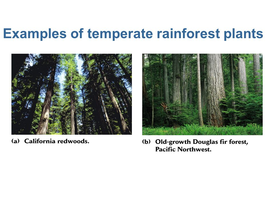 Examples of temperate rainforest plants
