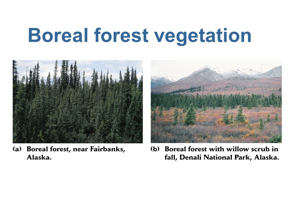 Boreal forest vegetation