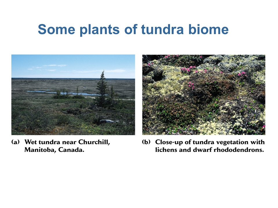 Some plants of tundra biome