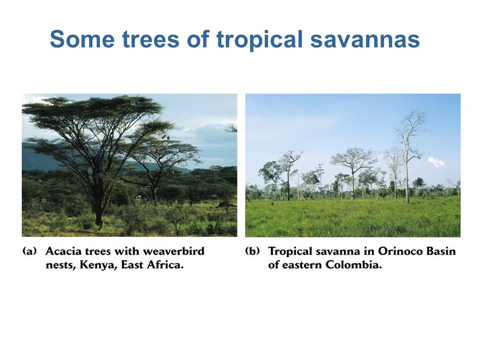 Some trees of tropical savannas
