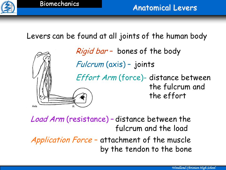 Levers can be found at all joints of the human body