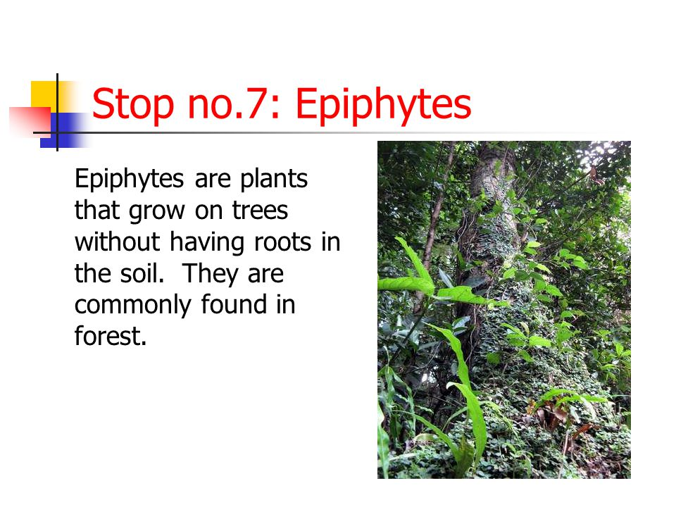 Stop no.7: Epiphytes Epiphytes are plants that grow on trees without having roots in the soil.