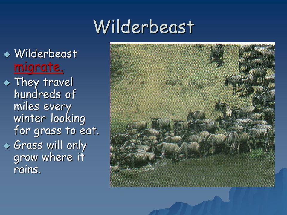 Wilderbeast Wilderbeast migrate.
