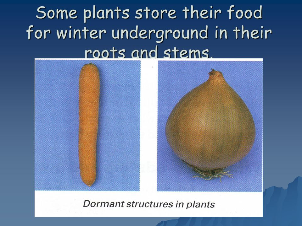Some plants store their food for winter underground in their roots and stems.