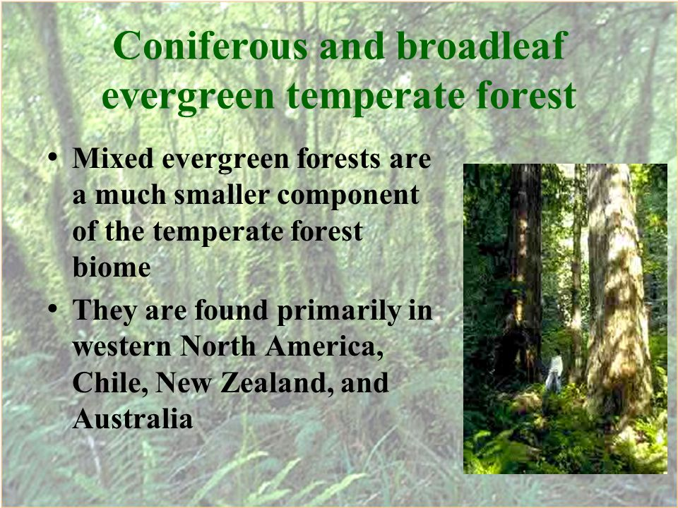 Coniferous and broadleaf evergreen temperate forest