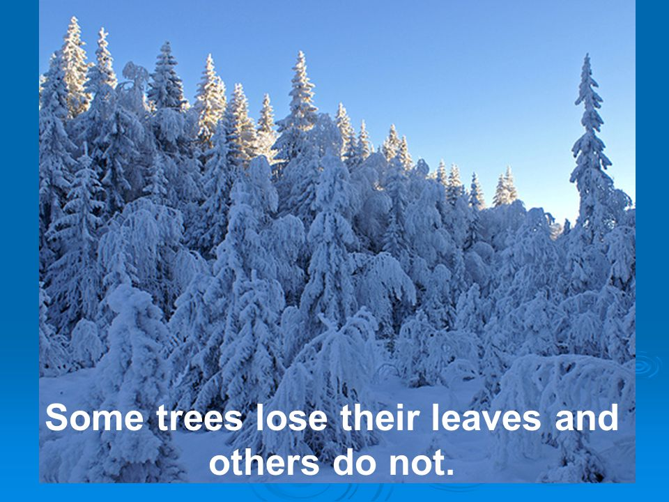 Some trees lose their leaves and others do not.