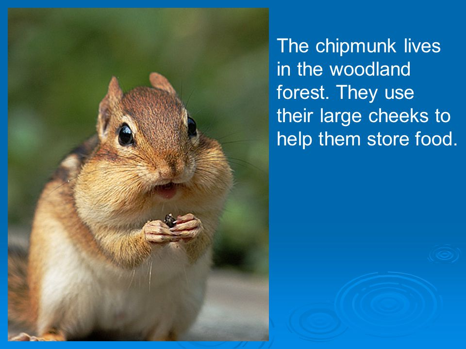 The chipmunk lives in the woodland forest