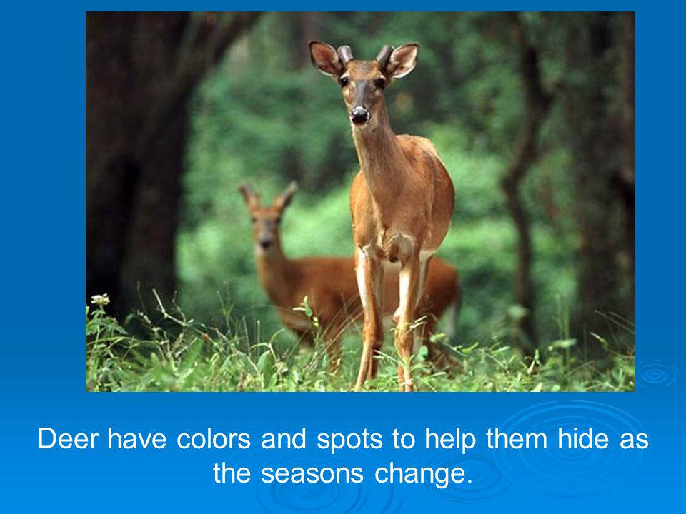 Deer have colors and spots to help them hide as the seasons change.