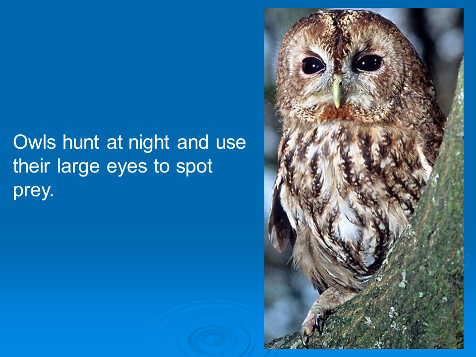 Owls hunt at night and use their large eyes to spot prey.