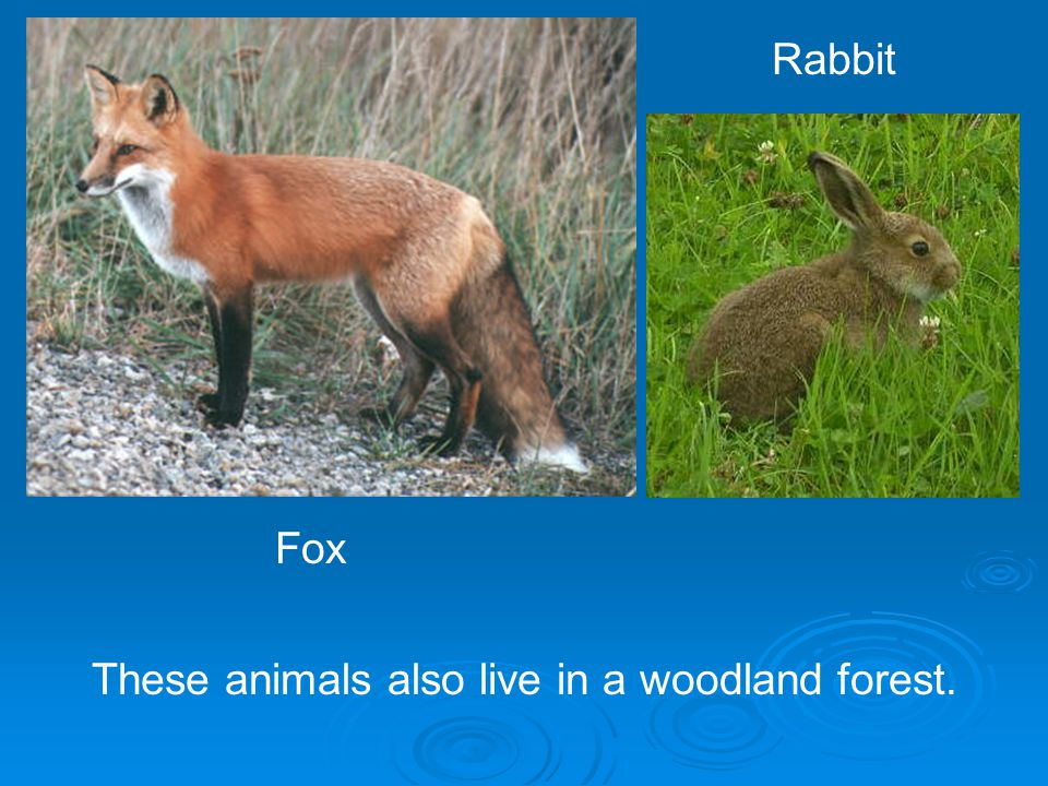 These animals also live in a woodland forest.