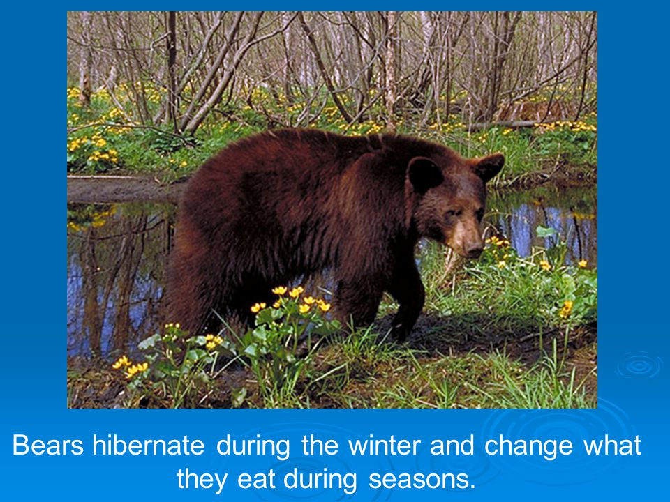 Bears hibernate during the winter and change what they eat during seasons.