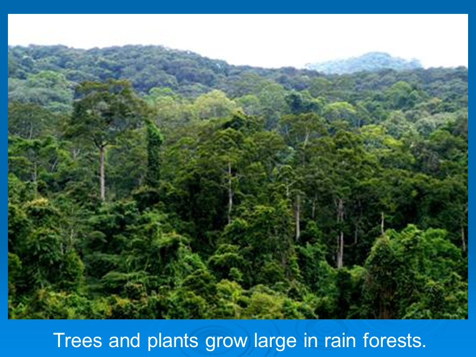 Trees and plants grow large in rain forests.