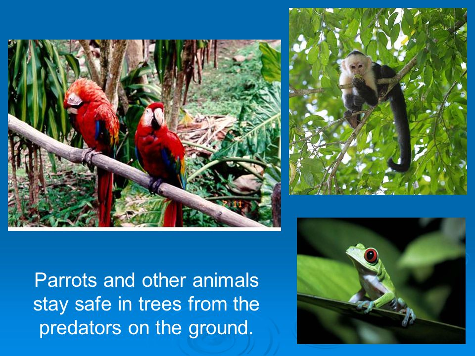 Parrots and other animals stay safe in trees from the predators on the ground.